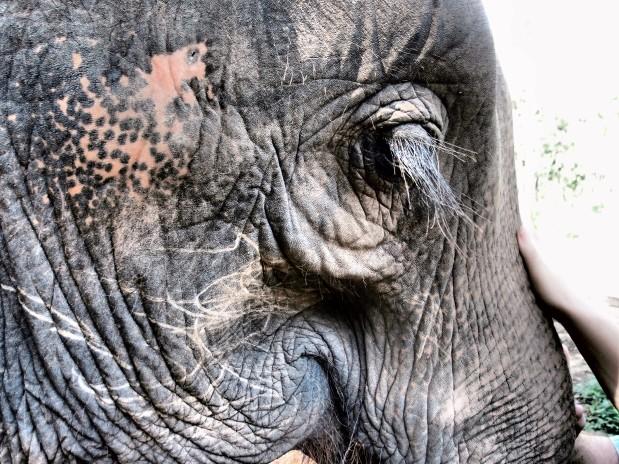 Elephants of Chiangmai