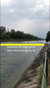 Distance dog has to swim (2)